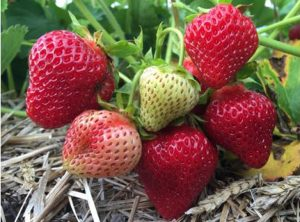 cropped-strawberrys1.jpg