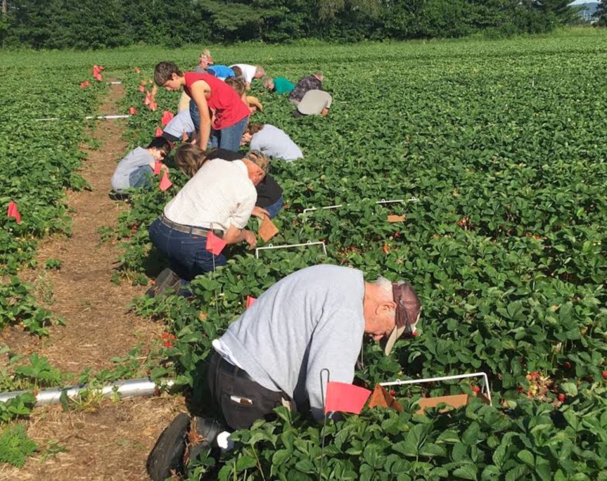 OPENING DAY FOR U-PICK STRAWBERRIES!