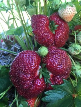 Strawberry 5