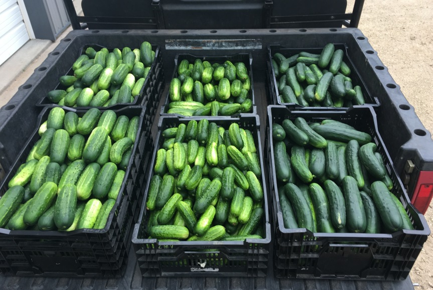 CUCUMBERS FOR SALE!!