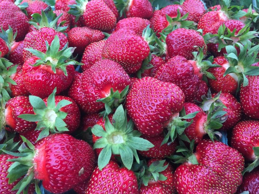 U-Pick Strawberries Opening Day, Wednesday, June26th!!