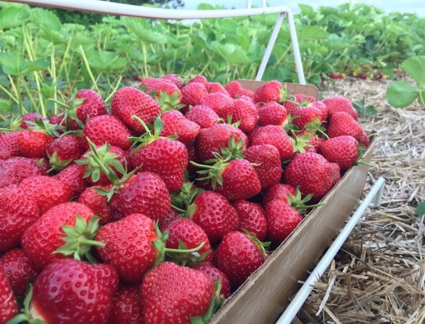 Strawberry Picking is Amazing! 🍓🍓🍓