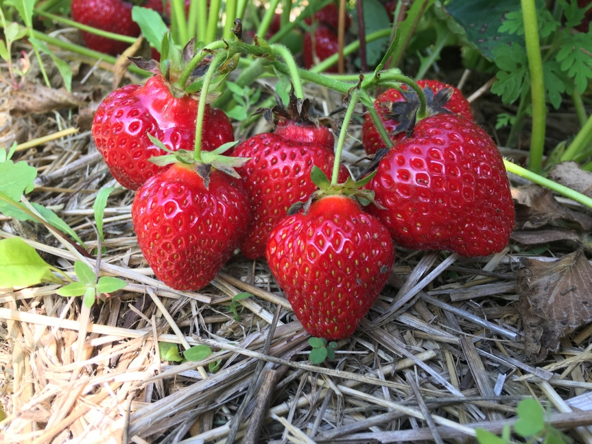 Strawberry Update July 7th