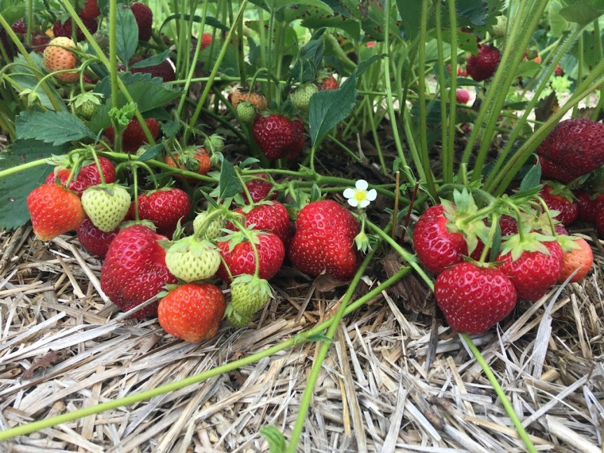 Strawberry Update July 3rd
