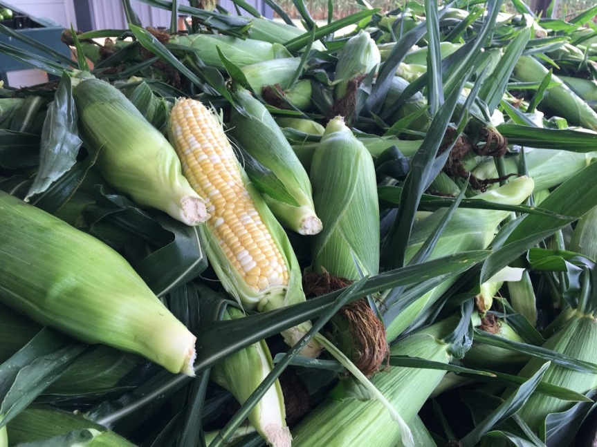 Perfect Time to Freeze Sweet Corn! 🌽