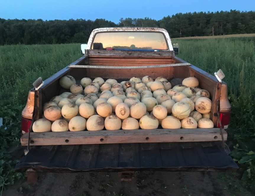 Muskmelon Season is Here!