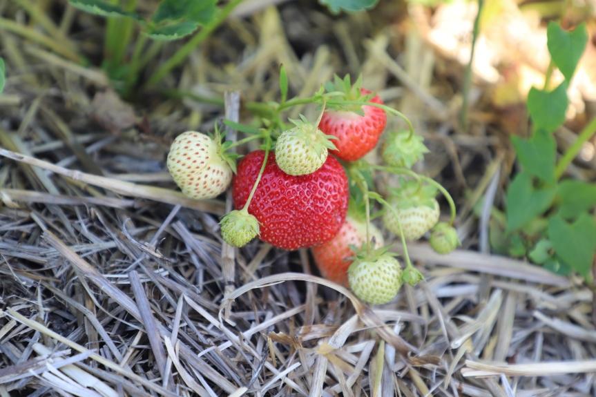 Strawberry Update June 12,2020