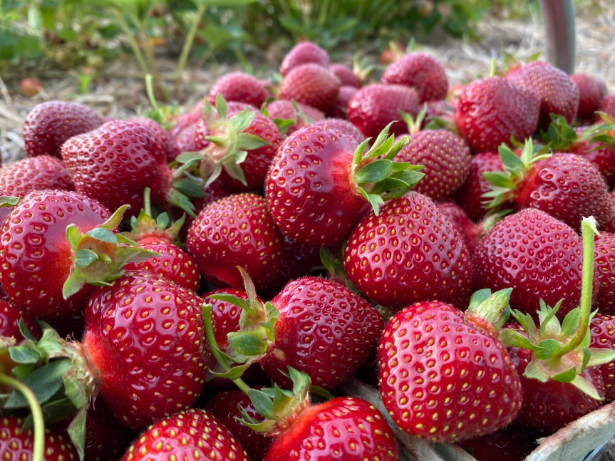 2020 Strawberry Season General Information