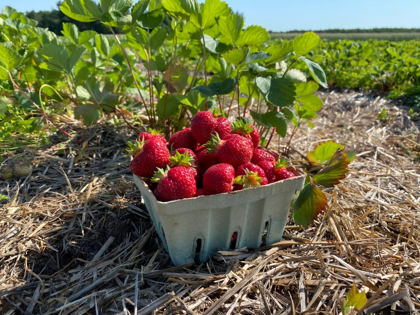 First Day of U-Pick Strawberries, Thursday June 18th! 🍓🍓🍓