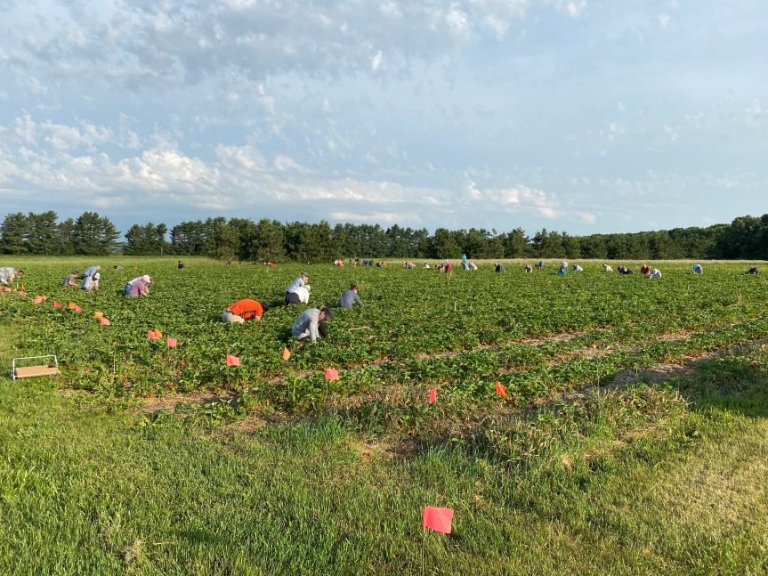 Strawberry Update June 18, 2020