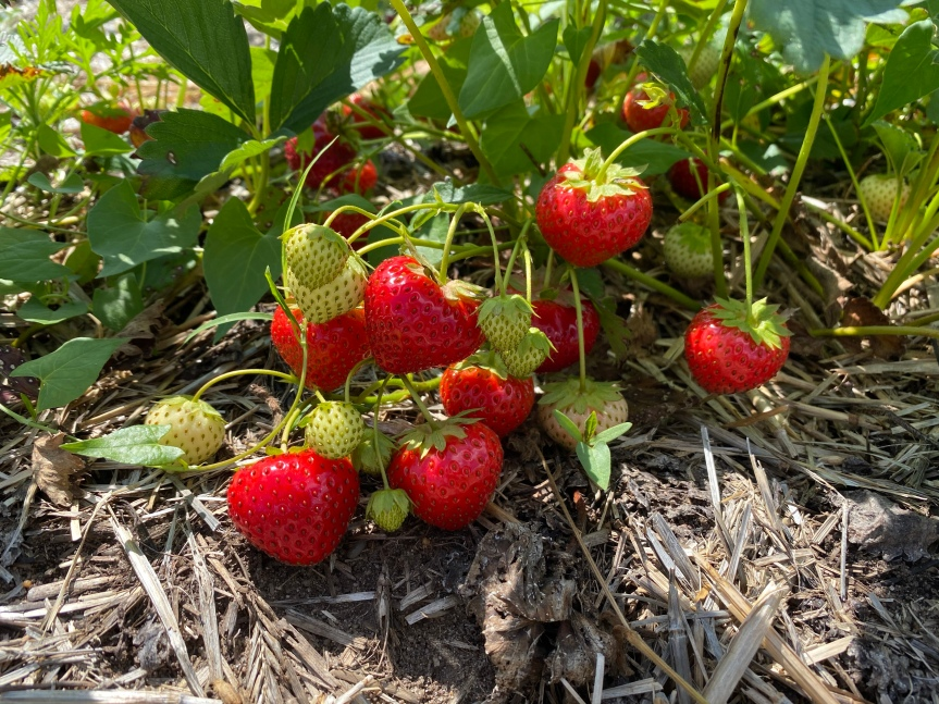 Strawberry Update June 21, 2020