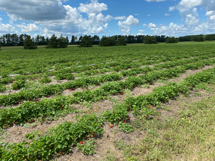 Strawberry Update June 26, 2020
