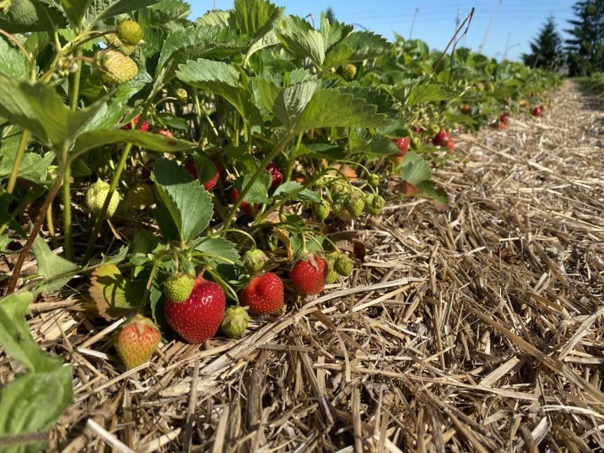 Strawberry Update June 14,2020