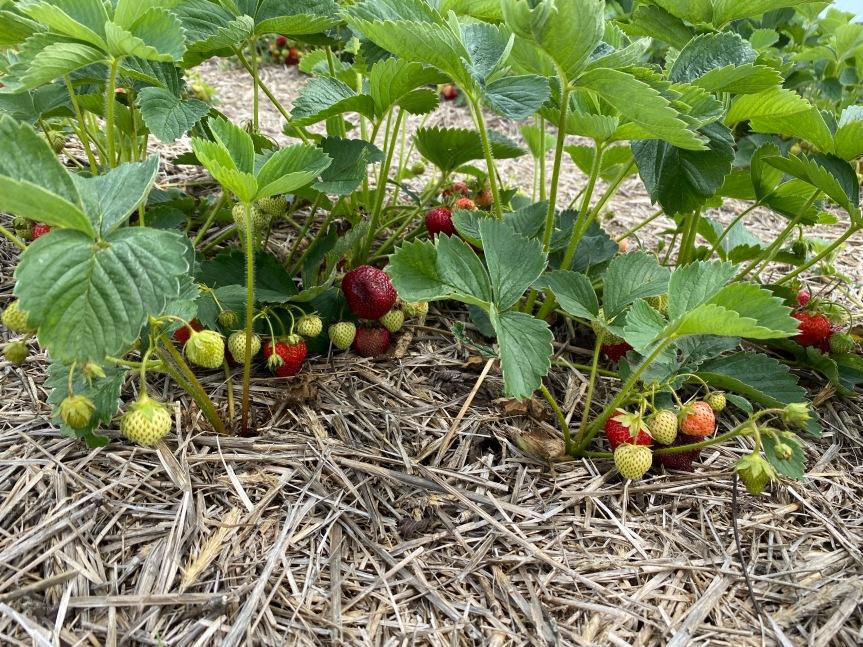 U-Pick Strawberries, Monday, June14th