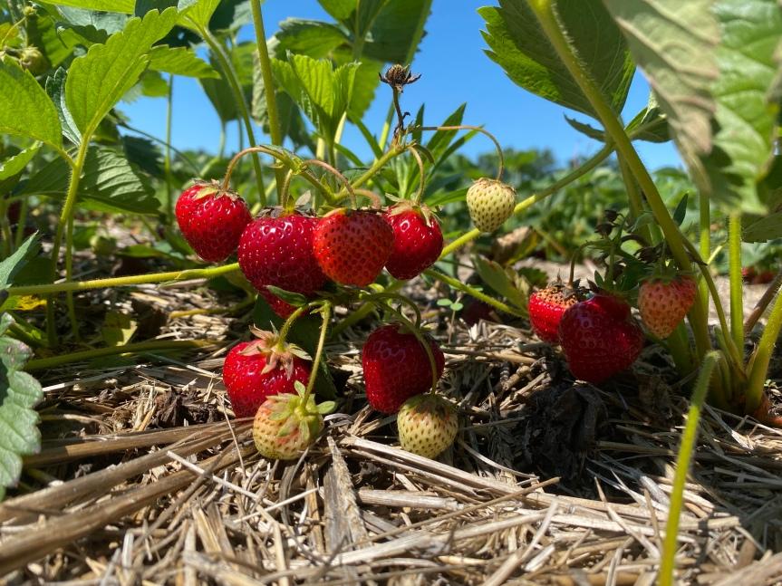 Strawberry Update June 16,2021