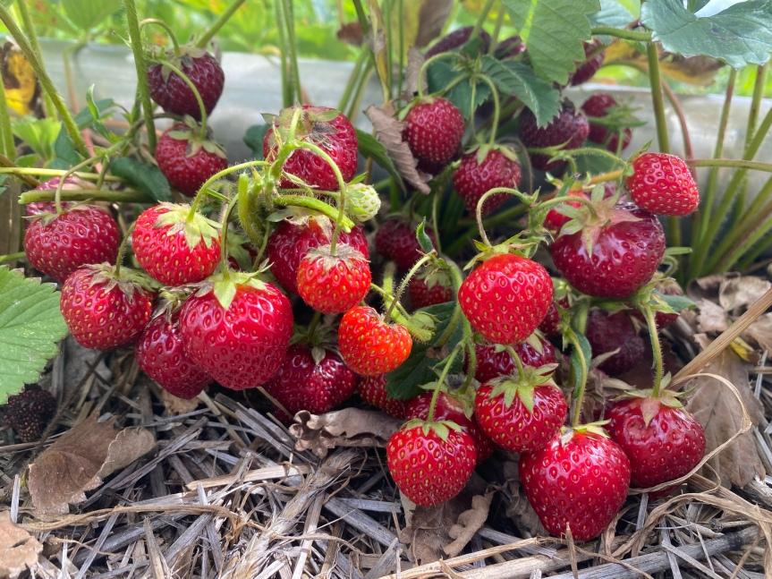 Strawberry Update June 21, 2021 (One more day ofU-Pick)